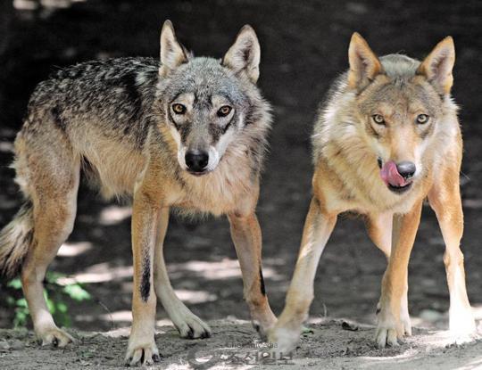 山羊,狐狸等濒临灭绝动物野生种群的工作之后,决定讨论将韩国狼也自然