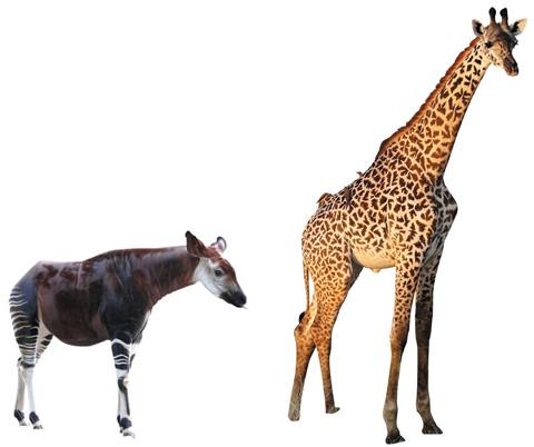 长颈鹿是地球上个子最高的动物,最长可达6米,仅脖子就超过2米.